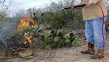 Burning the cactus. Photo credit: http://m.themonitor.com/opinion/columnists/