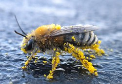 Squash Bee. Image Credits: Alex Surcica