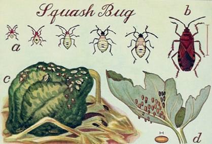 Squash Bug Life Stages. Image Credits: Eva Melady