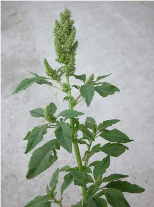 Amaranth in its typical growth form. Image from: http://irapl.altervista.org/cpm/albums/bot-units82/amaranthus-retroflexus2268.jpg