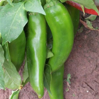 NuMex Heritage 6-4 comes in the early cultivated green form and mature red form. Image provided by: chilepepperinstitute.org