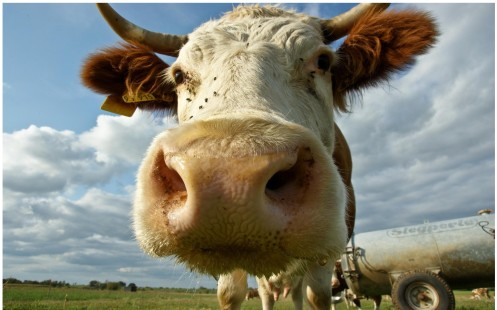 Image from http://managementscience.biz/cow-face/