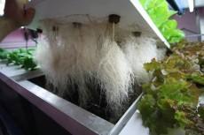 aeroponic roots