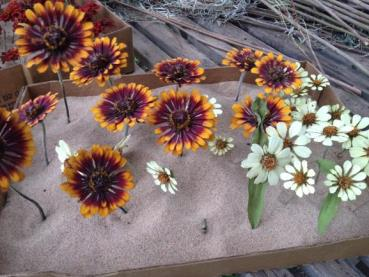 Dried Zoey Zinnias and White Profusion Zinnias.