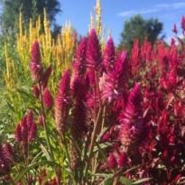 Various varieties of celosia flowers and Love Lies Bleeding amaranth in basket and celosia plants in field.