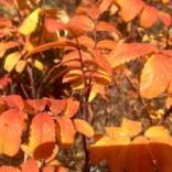 Leaves of a wild rose bush turning from bright hues of yellow to orange.