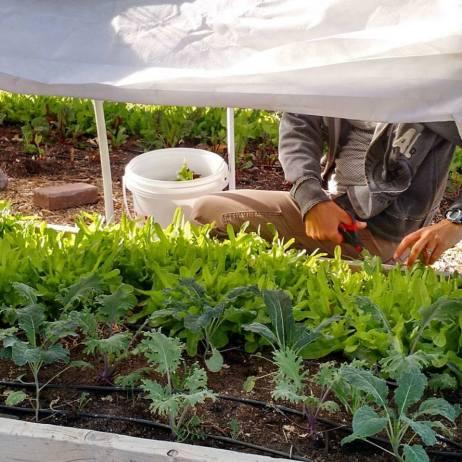 row-cover-harvest