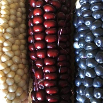 Heritage varieties of corn. Image courtesy of Roxanne Swentzell