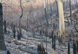 Burnt bushland in East Gippsland Fern Gully